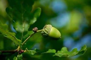 acorn-2555291_960_720-300x200